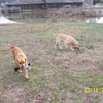 Duncan (left) retrieving Mallard Drake and Buddy retrieving frozen Mallard Hen